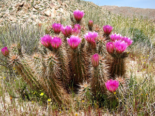 Wildflowers , Cactus Blooms and Jackrabbits in the southern Anza Borrego Desert