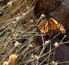Butterfly in Carrizo Gorge East Fork