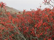 Desert Wildflower update for Southern Anza Borrego