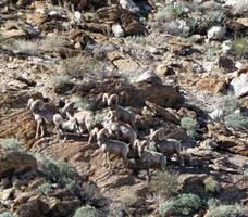 Desert Bighorn Sheep in Anza Borrego