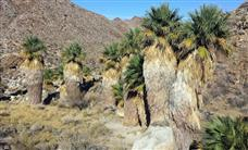 Hiking to the remote Carrizo Palms