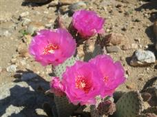 Anza Borrego Desert Flower Report March 2015