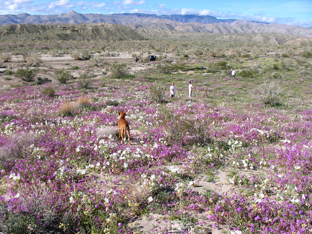 Flower field near Canyon Sin Nombre Anza Borrego