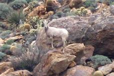 Penninsular Bighorn Sheep threatened again