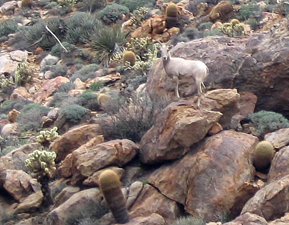 Bighorn sheep in Anza Borrego 's Goat Canyon