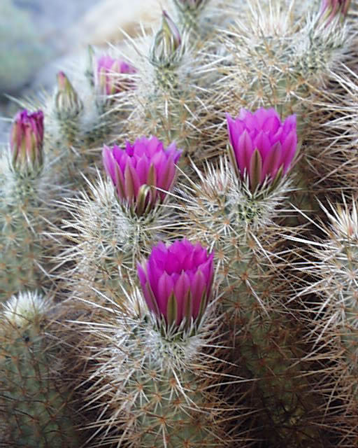 Anza borrego pink flowers of the hedgehog cactus anza borregoo hedgehog cactus mightylinksfo